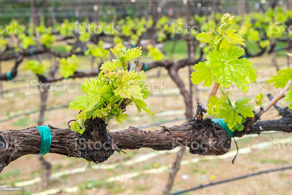 Grenache Vines in Arizona USA stock photo