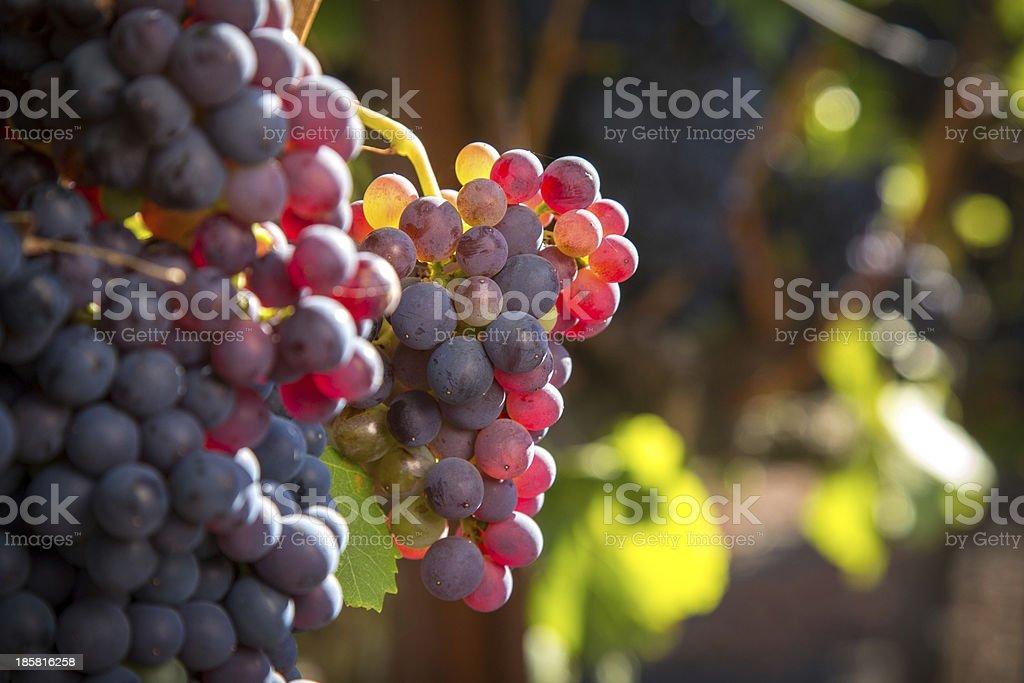 Grenache Wine Grapes stock photo