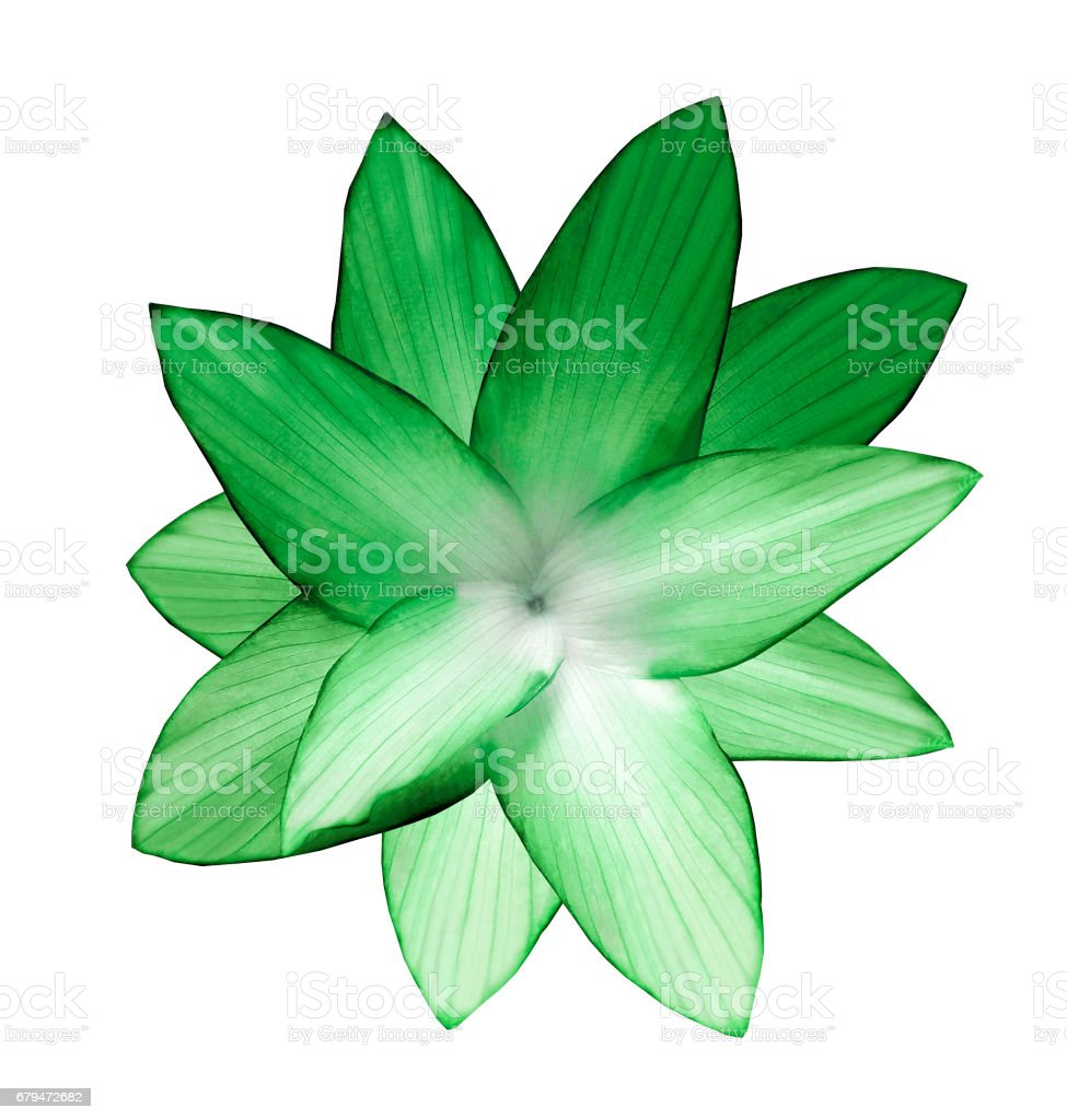 Gren-white flower.  White isolated background with clipping path.   Closeup.  no shadows.  For design.  Nature.'n 'n royalty-free stock photo