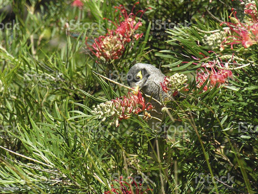 Grevillea and feeding bird royalty-free stock photo