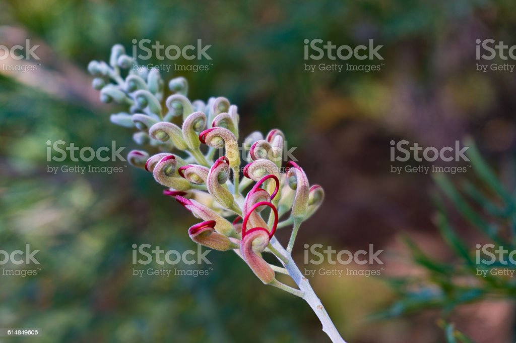 Grevillea bud. Exotic flower going to bloom stock photo
