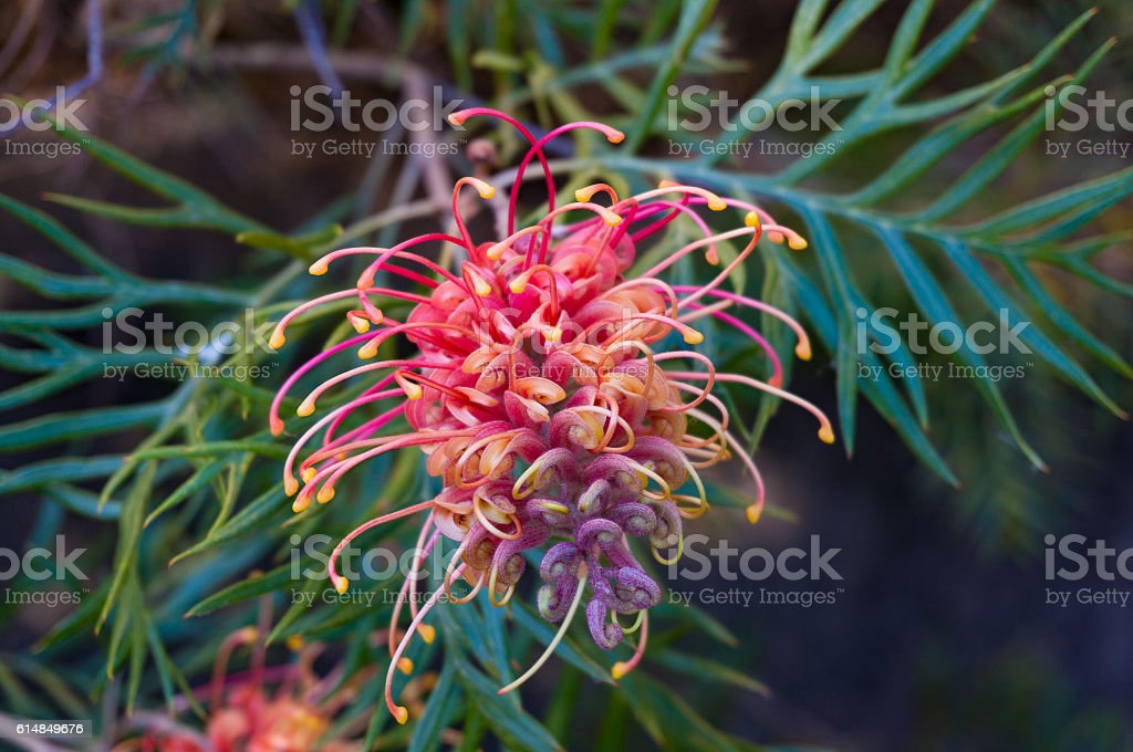 Grevillea flower. Exotic plant in bloom – Foto