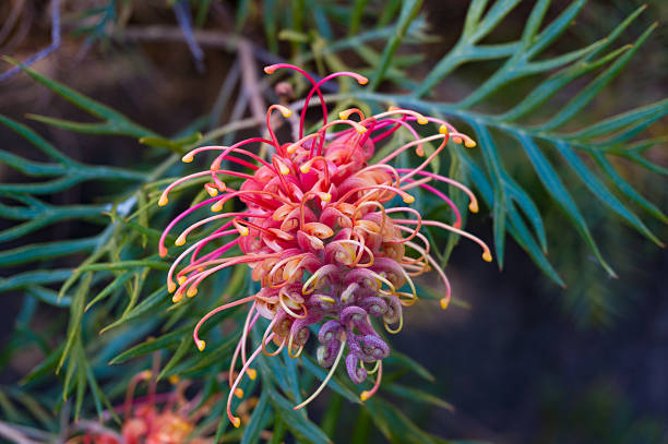Grevillea flower. Exotic plant in bloom stock photo