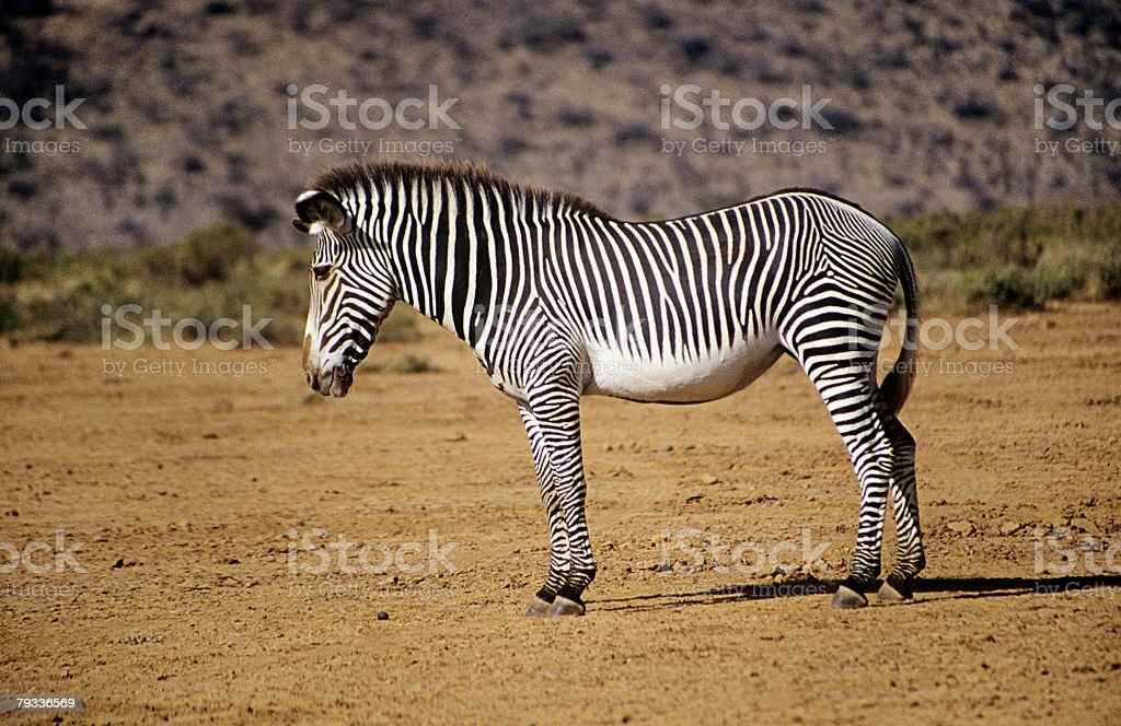 Grevy's zebra royalty-free stock photo