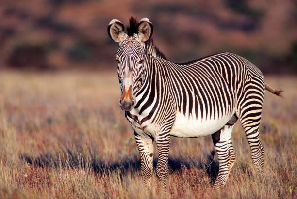 """grevy """"s zebra porträtt - single pampas grass bildbanksfoton och bilder"""
