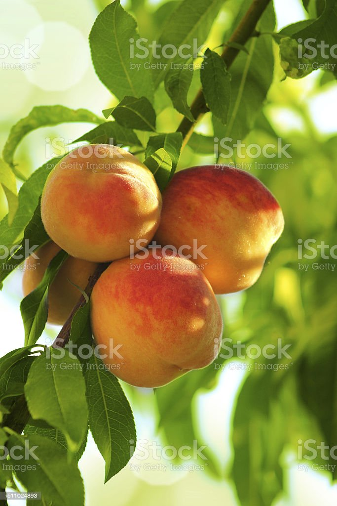 Grew on a peach tree branch beautiful peach fruit stock photo