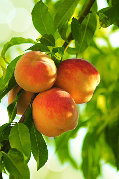 Best Peach Tree Stock Photos, Pictures & Royalty-Free ...