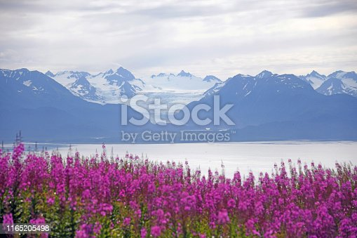 Grewingk Glacier with fireweed in the foreground - Homer, Alaska