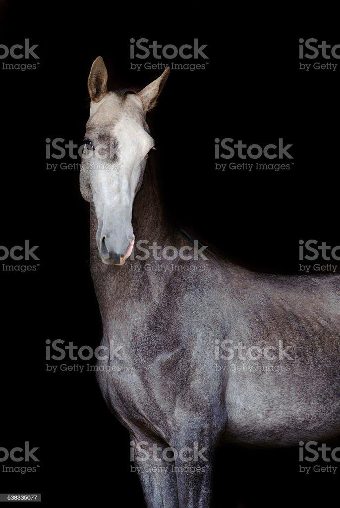 grey akhal-teke horse isolated on black stock photo