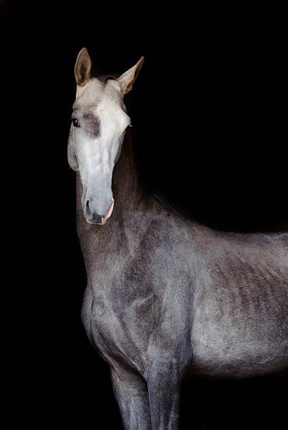 grau akhal-teke pferd isoliert auf schwarz - akhal teke stock-fotos und bilder