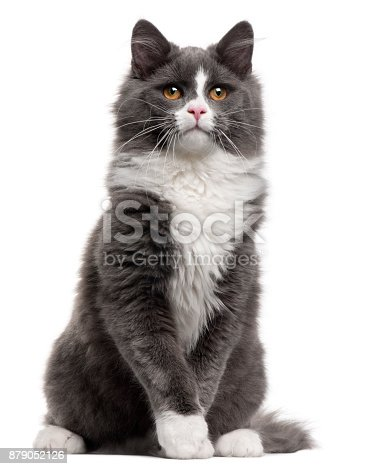 istock Grey and white cat, 5 months old, sitting in front of white background 879052126
