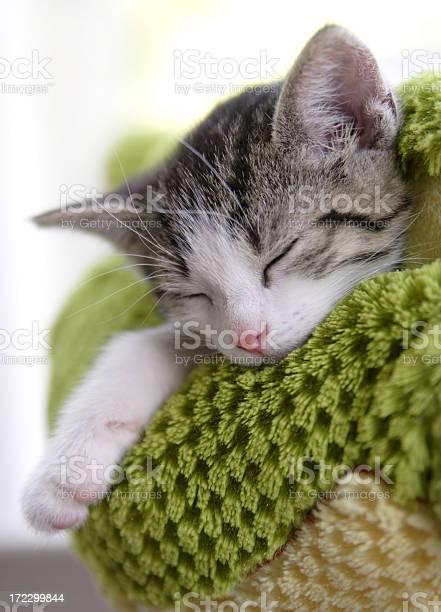 Grey and white kitten sleeping on a green blanket picture id172299844?b=1&k=6&m=172299844&s=612x612&h=7xh9sh7vwfy1tks8pe2eqxeq e5iazginvoy4sbmekq=