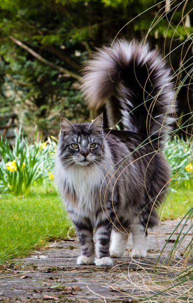Grey and white maine coon cat stands outdoors in a garden in the picture id1031504808?b=1&k=6&m=1031504808&s=612x612&w=0&h=wf1ie0mx wvxnpc2uuvj jlul cbolrsagjljh5kgpm=