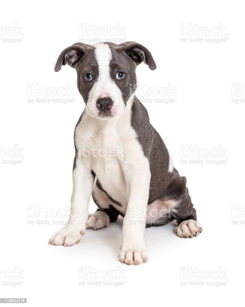 子犬 ピットブル