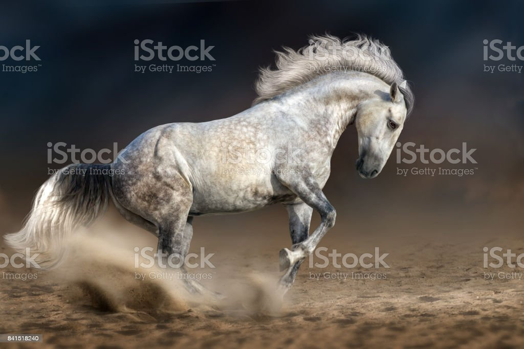 Grey andalusian horse stock photo