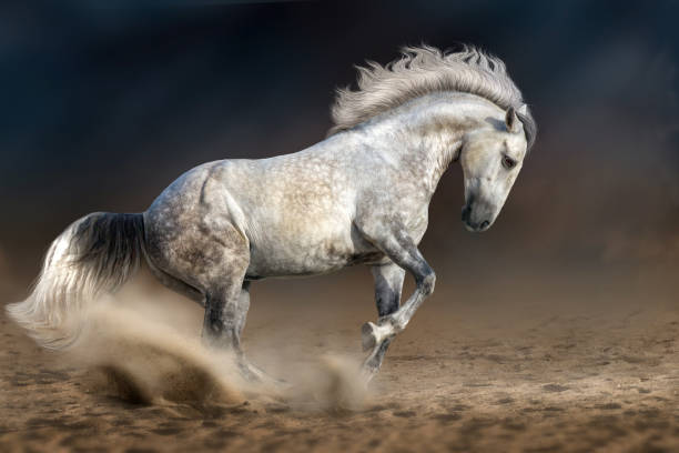 graue andalusier - andalusier pferd stock-fotos und bilder