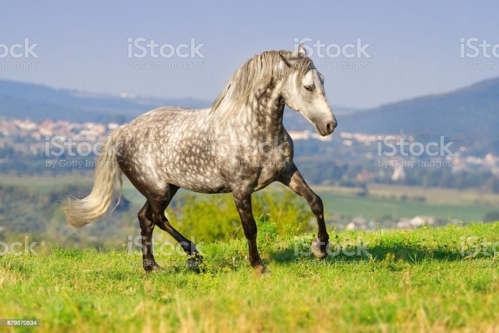 Grey andalusian horse stock photo