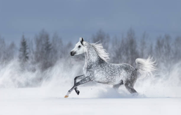 Grey arabian horse galloping during snowstorm picture id1059327724?b=1&k=6&m=1059327724&s=612x612&w=0&h=kazzcm7fat37mk8kt2ivg6cwhxvct1knlybn u4fvby=
