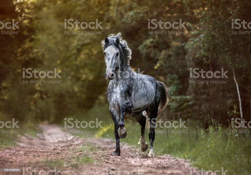 Grey arabian horse in the forest. stock photo