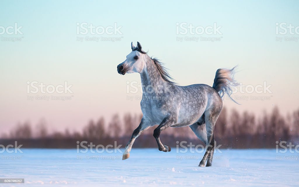 Grey Arabian stallion on winter snowfield at sunset stock photo