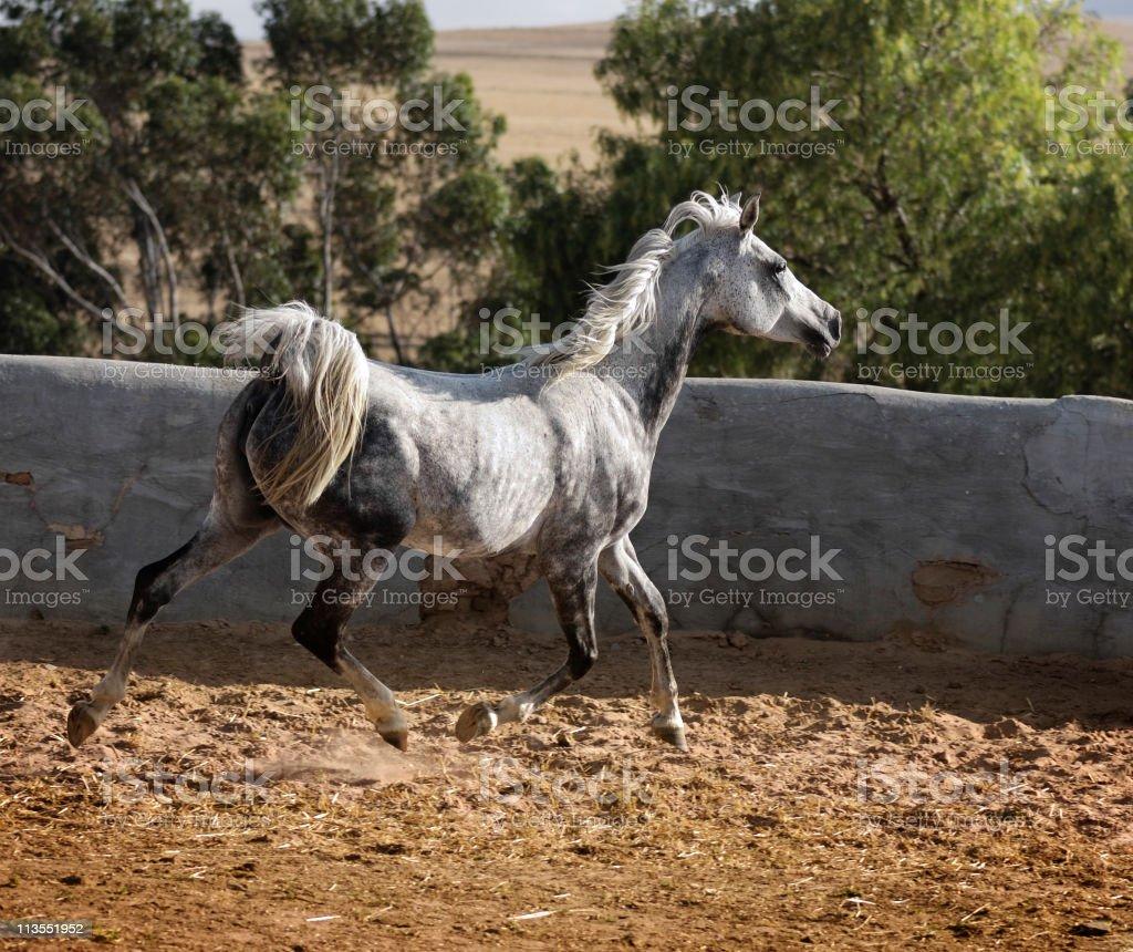 Grey Arabian trot stock photo