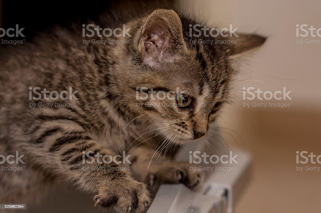 Grey baby kitty - foto de stock