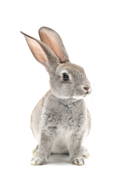 grey baby rabbit  isolated on white background - rabbit stock photos and pictures