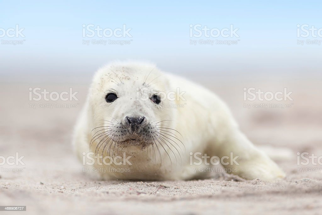 Grey baby seal lying on the shore  stock photo
