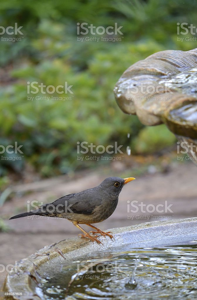 Grey bird with orange beek on water feature stock photo