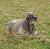 Australian grey brahman bull relaxing in the paddock