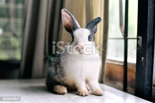 Grey bunny rabbit looking frontward to viewer, Little bunny sitting on white desk, Lovely pet for children and family.