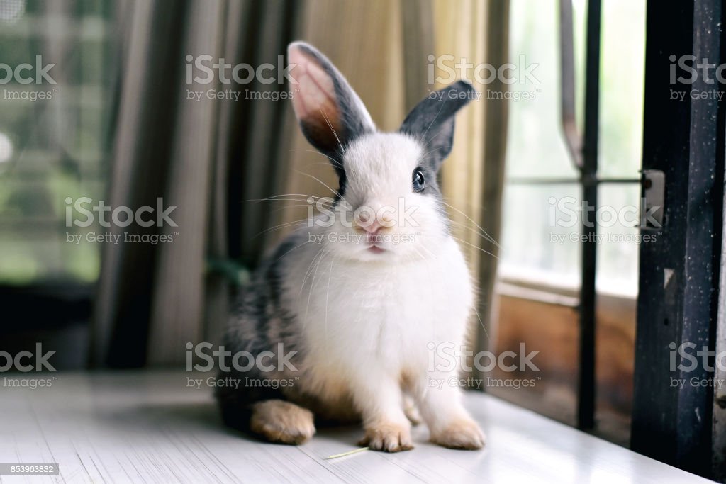 Grey bunny rabbit looking frontward to viewer, Little bunny sitting on white desk, Lovely pet for children and family. stock photo