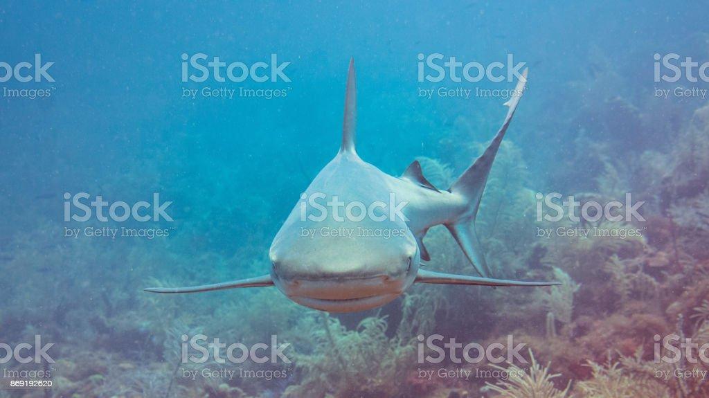 Grey Caribbean Reef Shark stock photo