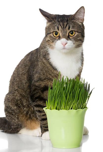 Grey cat and green grass picture id466951100?b=1&k=6&m=466951100&s=612x612&w=0&h=v8214rvlg8cgq2y3avjpdi eu1h0zjvkfti gtyq3ia=