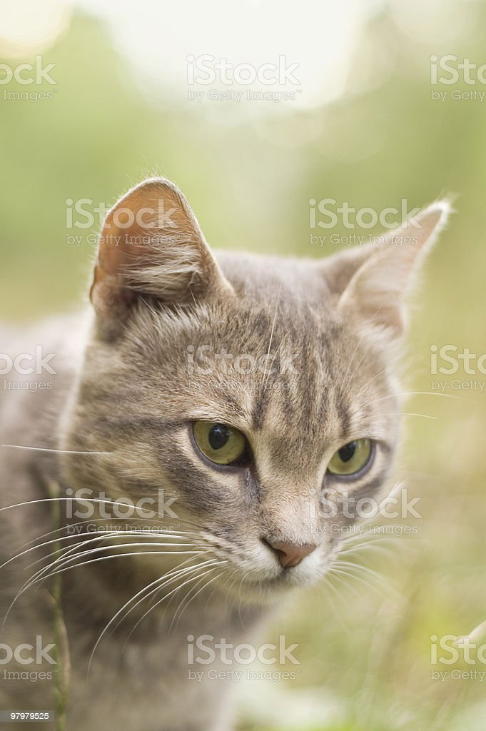 grey cat at nature royalty-free stock photo