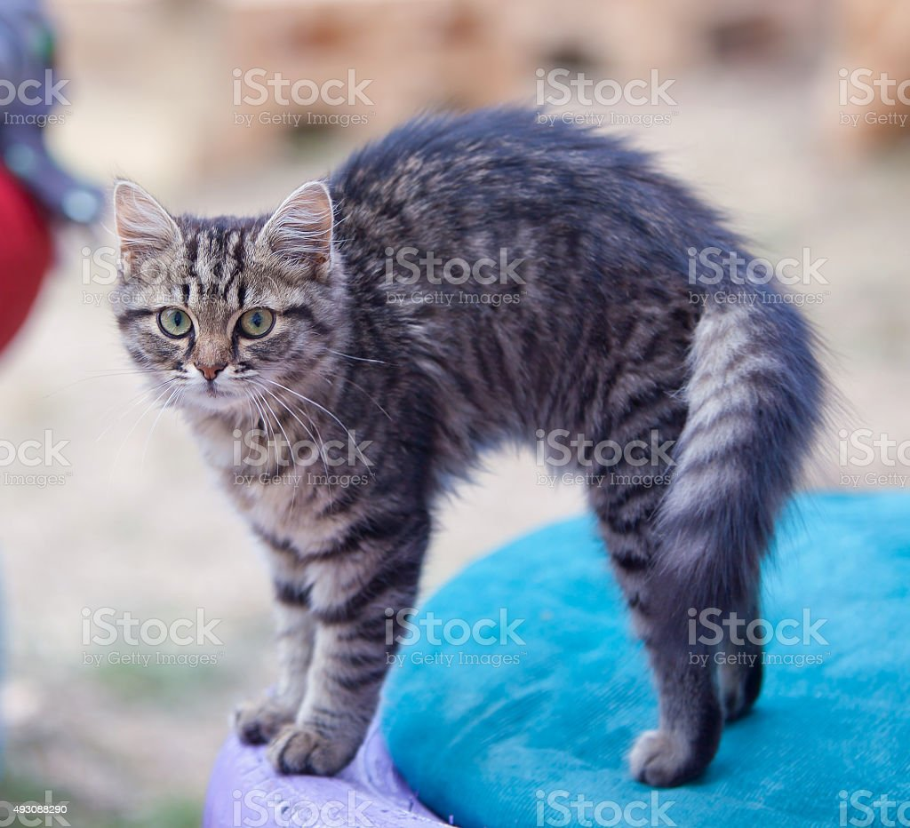 Grey Cat bends his back stock photo