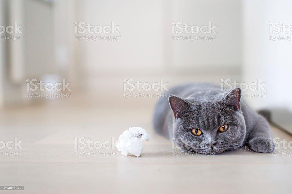 Graue Katze Leg dich mit dem Rücken auf dem Boden – Foto