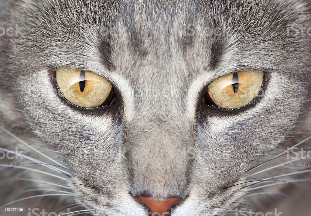 Grey cat looking royalty-free stock photo