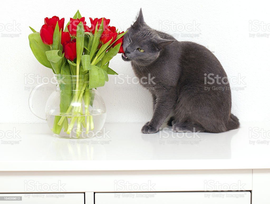 grey cat on a table eats red tulips from vase royalty-free stock photo