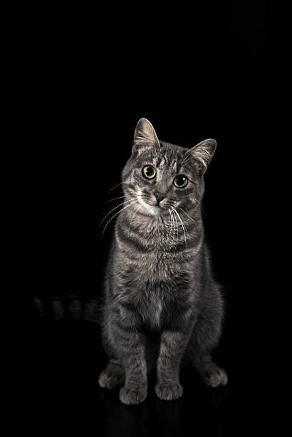 Grey cat on black background picture id521384864?b=1&k=6&m=521384864&s=612x612&w=0&h=j6tpwpxr6ryj5npox8pjr6xkskadip3jpzg kwa5msg=