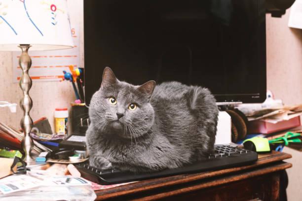 Grey cat on computer keyboard picture id962167638?b=1&k=6&m=962167638&s=612x612&w=0&h= ch mqghwngwwn jzn8ywf scamnkg7xacgoiy5ftze=
