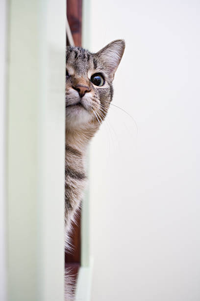 Grey Cat peeking out stock photo