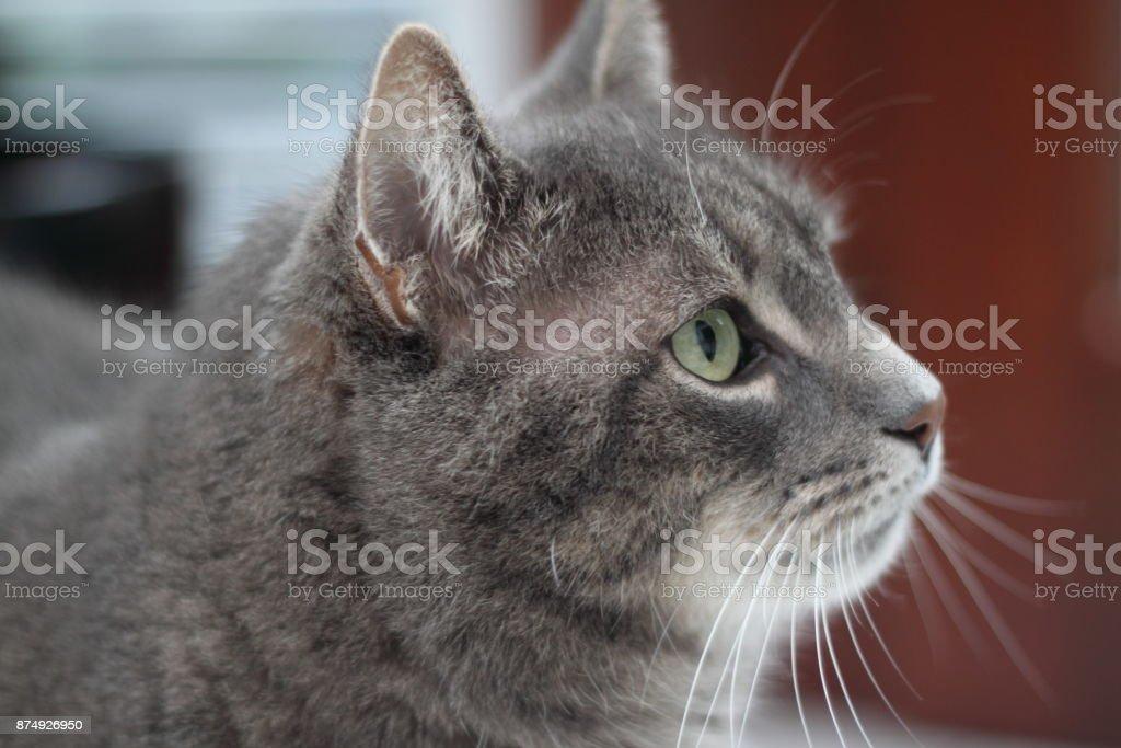 Chat gris  - Photo