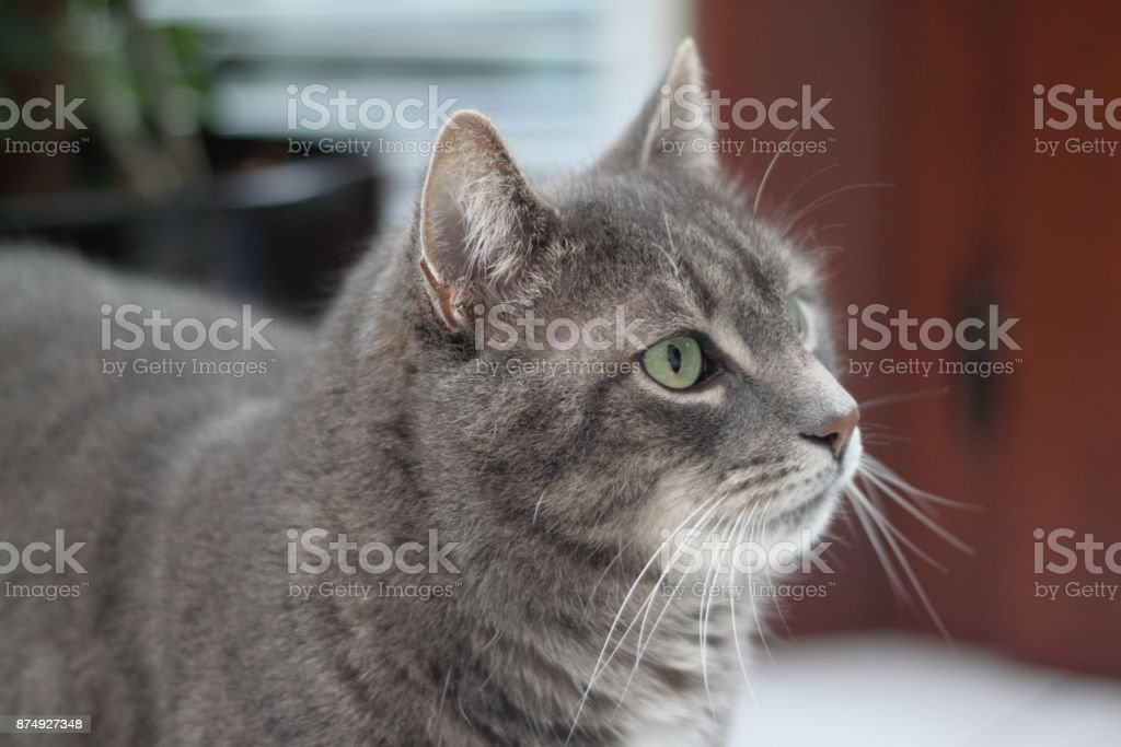 Chat gris  - Photo