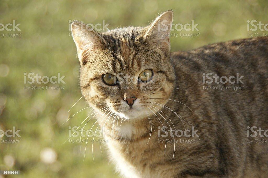 Grey Cat royalty-free stock photo