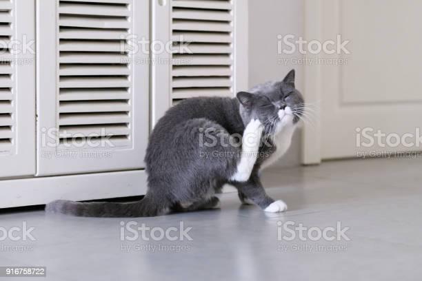 Grey cat shot indoors picture id916758722?b=1&k=6&m=916758722&s=612x612&h=zjnxkgi4x0dtytmz rk8l4r4h1izmcs1x1nceammida=