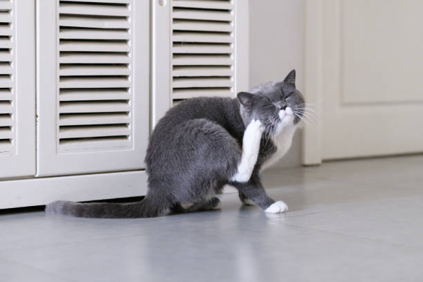 grey cat, shot indoors - scratching stock photos and pictures