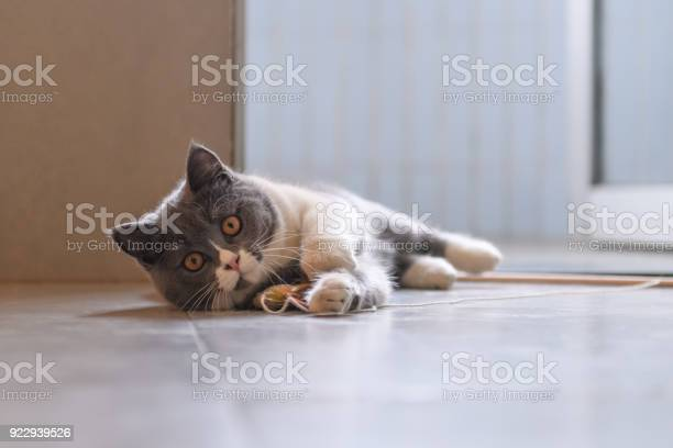 Grey cat shot indoors picture id922939526?b=1&k=6&m=922939526&s=612x612&h=bmeg2zhnulkwiy8fupbxbholavivpxl3sh vaa3ta k=