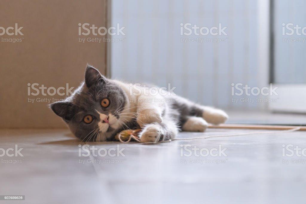 Grey cat, shot indoors stock photo