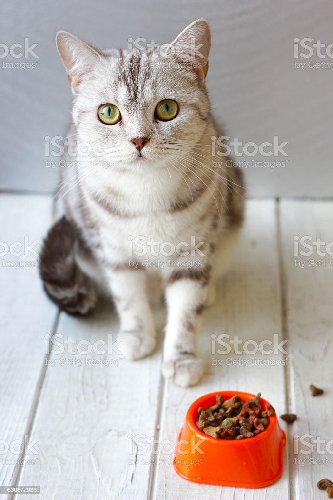Grey cat sitting near orange cat bowl with food. stock photo